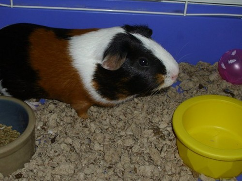 Guinea Pigs wallpaper titled Sammy again :D