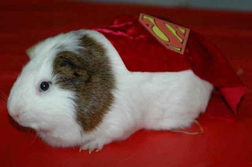 Guinea Pigs wallpaper titled Super cavy!
