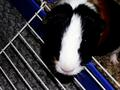 my Sammy - guinea-pigs photo