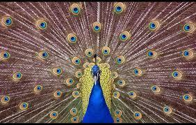 A beautiful symmetrical Peacock.