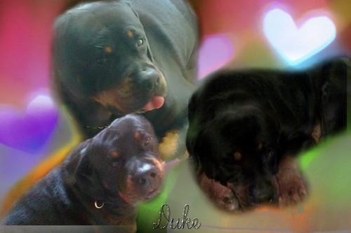 Duke *Rottweiler*