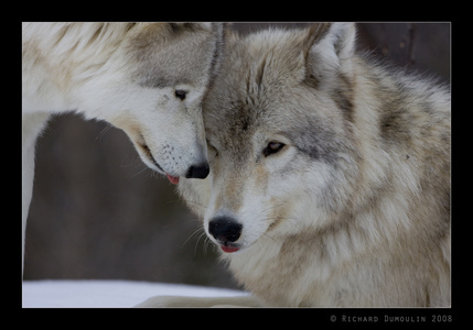 Sweet Wolf!