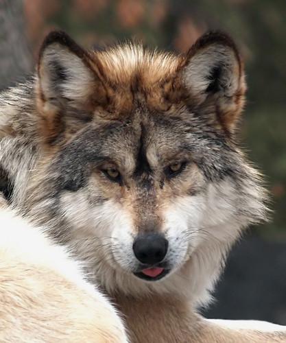 Italian lobo