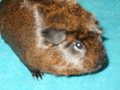 zip - guinea-pigs photo