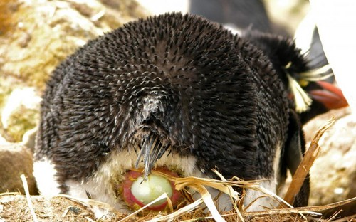 Rockhopper ibong dagat Laying An Egg
