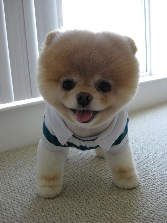 Boo the cutest dog in the world boo