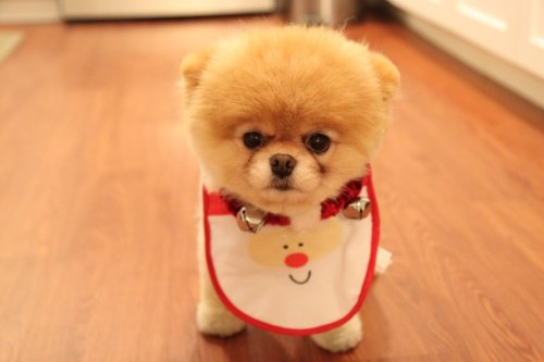 Boo The Cutest Dog In World Images 3 Wallpaper And Background Photos