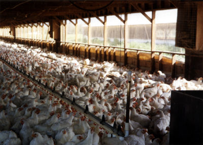 A Factory Farm  - animal-rights Photo