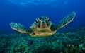 Green Sea schildpad 2