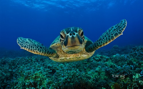 जानवर वॉलपेपर containing a hawksbill turtle, a green turtle, and a loggerhead entitled Green Sea कछुआ, कछुए 2