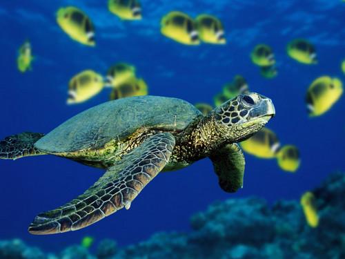 Green Sea tartaruga