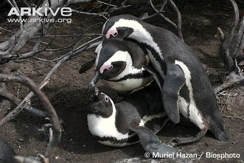 Penguins Mating Gang Up