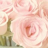 Daydreaming photo containing a rose entitled Pink Roses