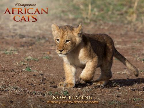 Afican 고양이 Lion Cub