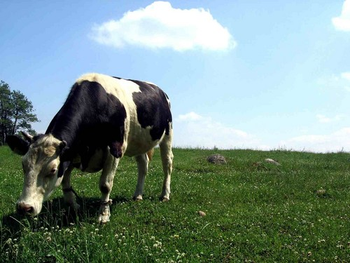 Cow वॉलपेपर