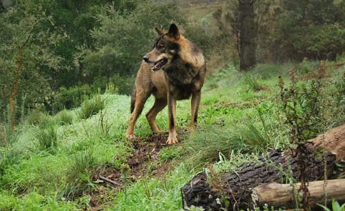 Iberian 늑대