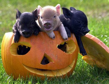 प्याली, सिलाई Pigs