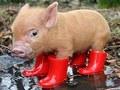 ティーカップ, 茶碗 Pigs