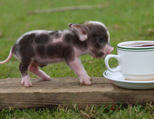 Teacup Pigs wallpaper probably with a coffee break called Teacup Pigs