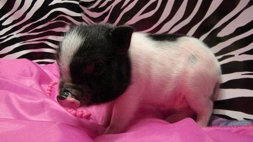 Teacup pig (tiny of the tiny) - teacup-pigs Photo