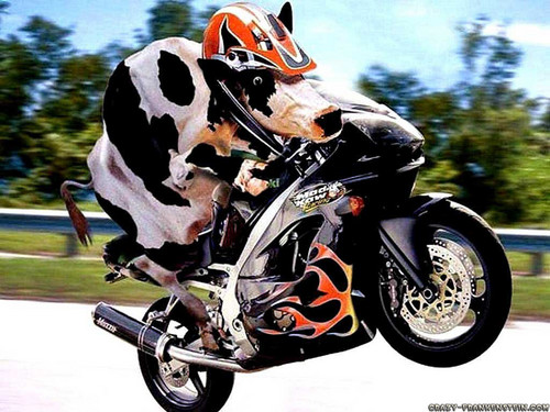 cow-on-motorcycle