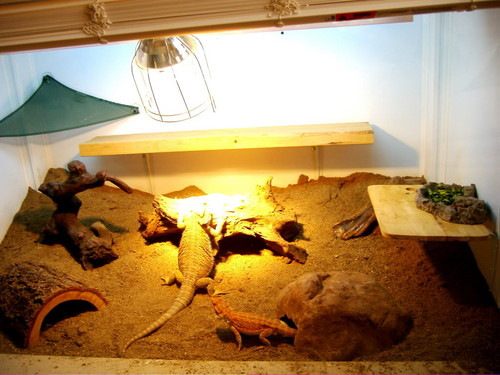 Some of my Mixed Bearded Dragon Shots