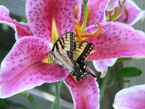 butterfly on stargazer lily