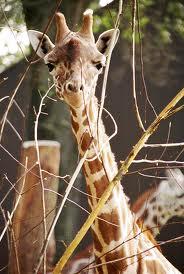 ♫ Giraffes~ ♫