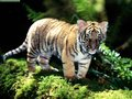 Amur Tiger Cub - amur-tigers wallpaper