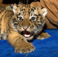 Amur Tiger Cub - amur-tigers photo