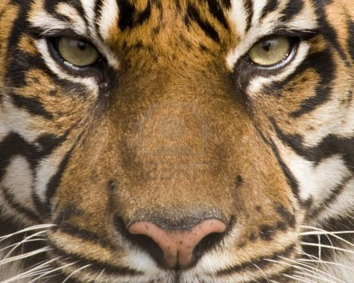 Amur Tiger Face
