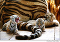 Amur Tiger Kittens - amur-tigers photo