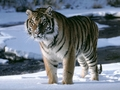 Amur Tiger Snow - amur-tigers wallpaper