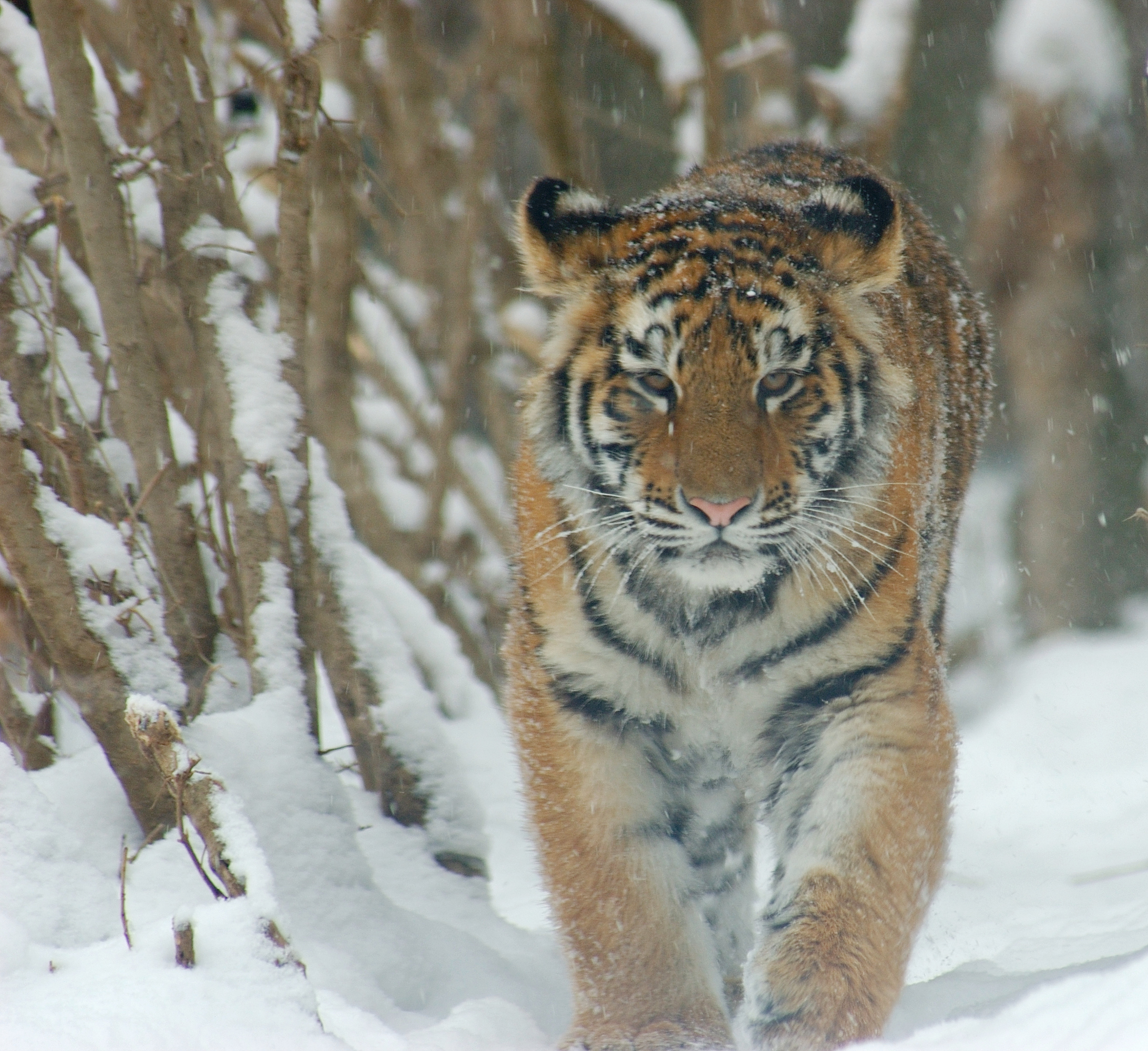 Tiger: Amur Tigers Images Amur Tiger Snow HD Wallpaper And