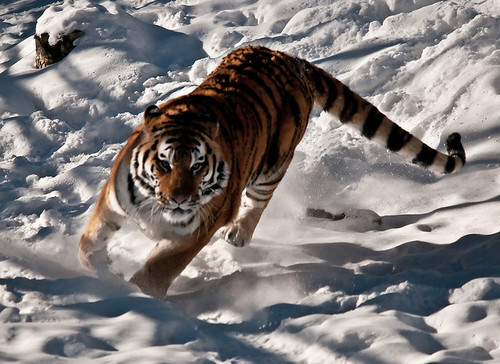 Amur Tigers wallpaper containing a bengal tiger, a tiger, and a tiger cub entitled Amur Tiger Snow
