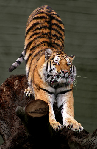 Amur Tiger Stretch