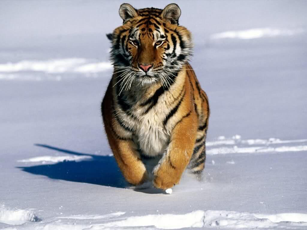 Amur Tiger Snow