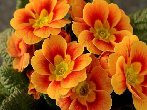 オレンジ お花