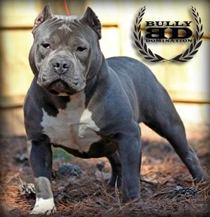 razor edge pitbull
