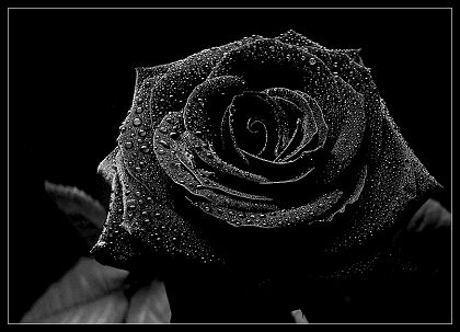 Black wallpaper possibly containing a conch, a red cabbage, and a rose entitled Black Rose