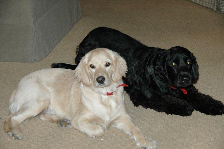 chatham hill retriever   dogs photo 27239745   fanpop
