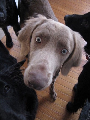 Long-Haired 威马, weimaraner