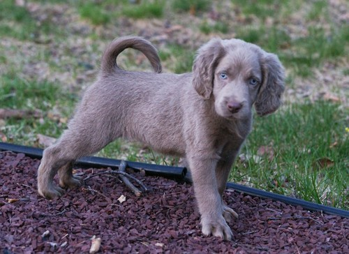 Long-Haired weimaraner, ویامآرانر