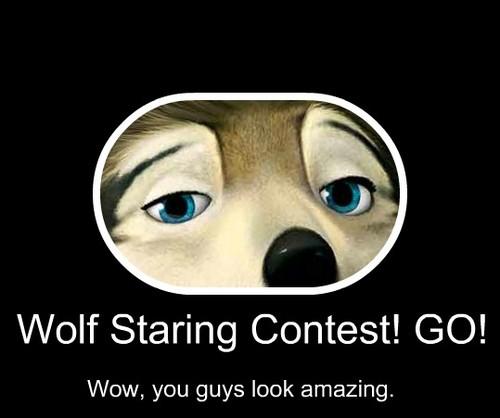 lobo Staring Contest!