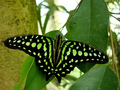green schmetterling