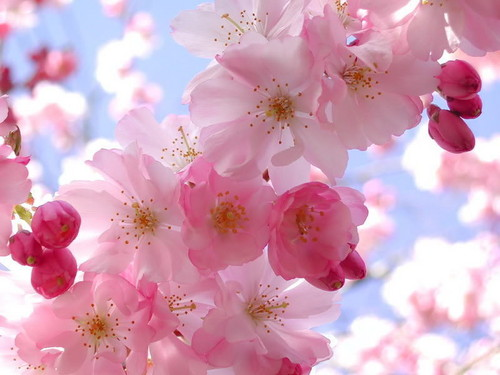 Facebook wallpaper with a begonia, a camellia, and a damask rose called cherry blossom