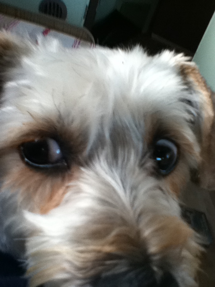 1000  images about Morkie cuts/grooming on Pinterest