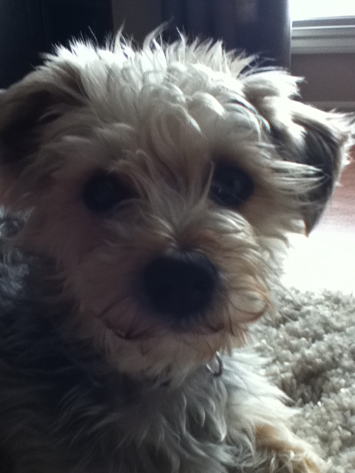max the morkie