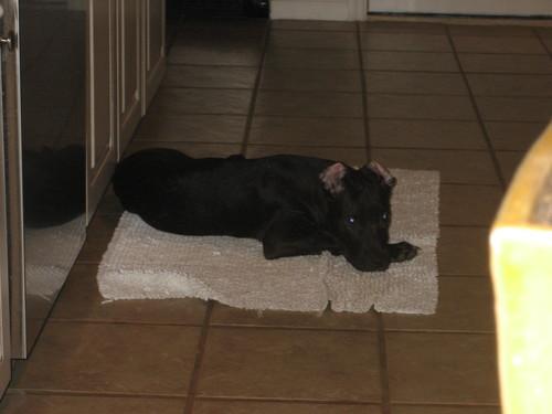 A Pitbull کتے