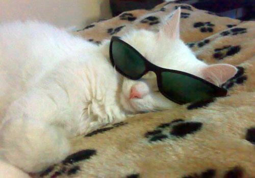 gatos wearing glasses